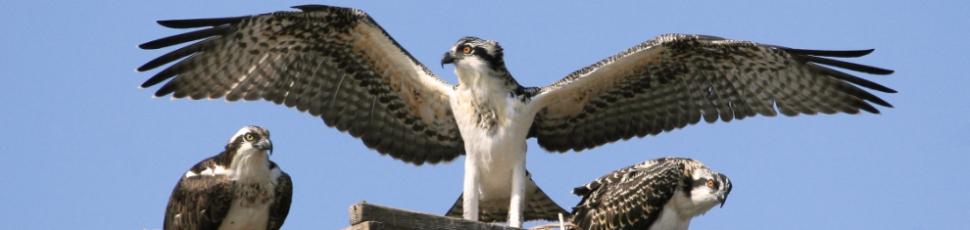 wildlife-birds-opsrey-baby-and-parents970x220jpg